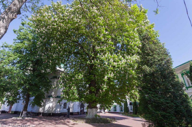 Самый старый каштан Киева