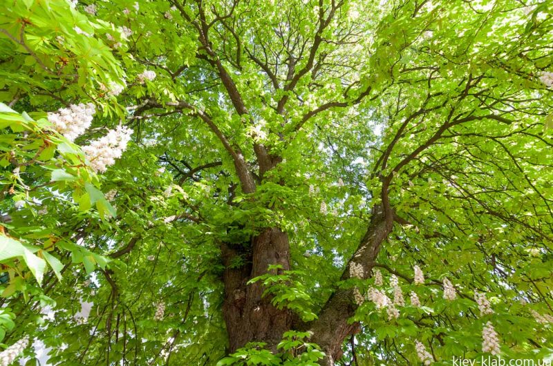 Старое дерево Киева