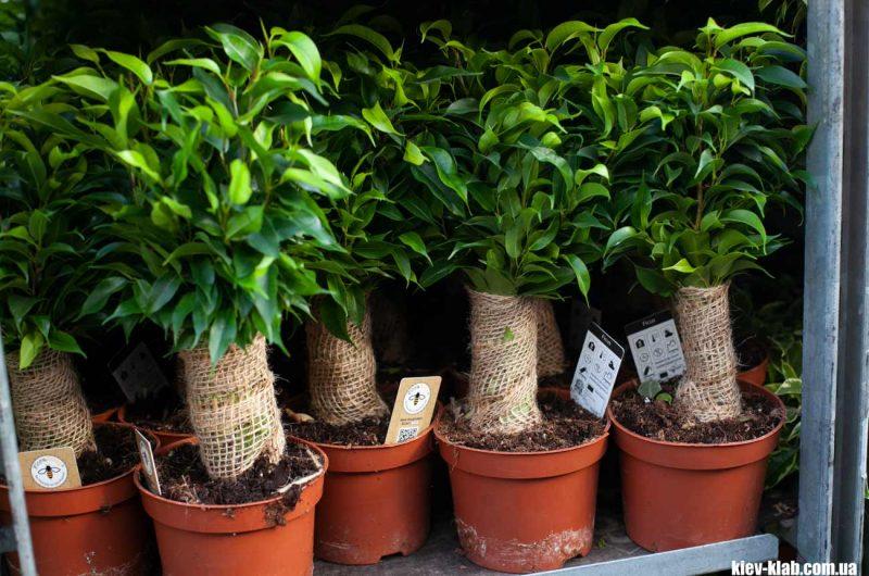 Домашие растения Камелия