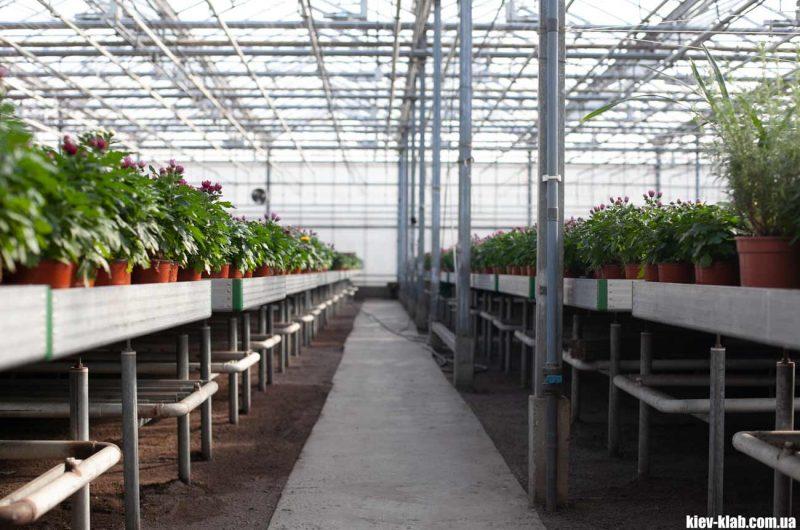 Выращивание цветов Камелия