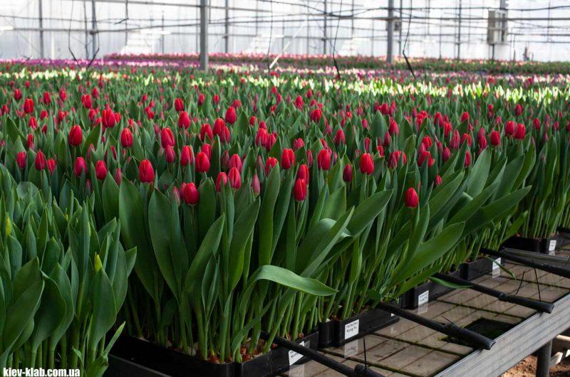 Тюльпаны Камелия
