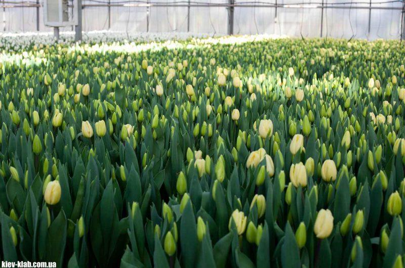 Жёлтые тюльпаны Камелия