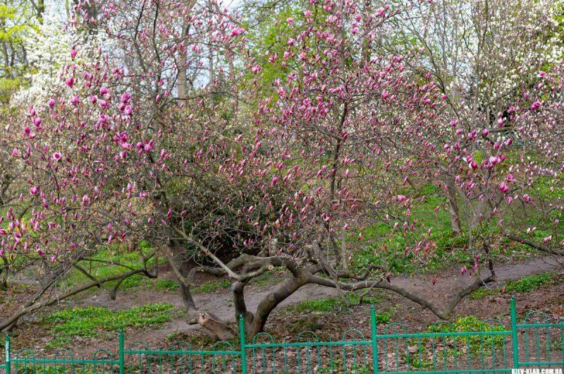 Ботанический сад Фомина магнолии