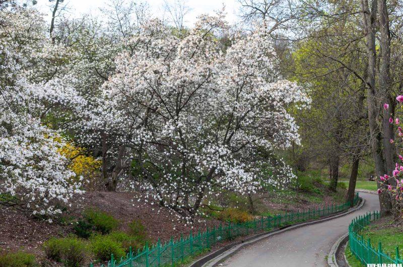 Магнолии в ботаническому саду Фомина